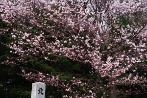 桜到来!札幌